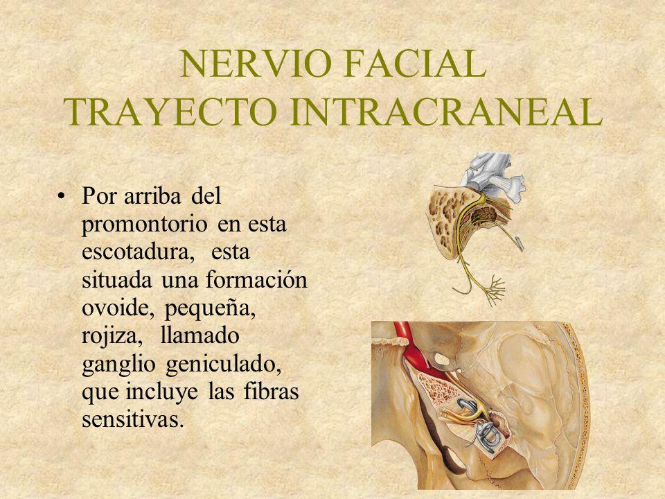 NERVIO FACIAL TRAYECTO INTRACRANEAL Por arriba del promontorio en esta escotadura, esta situada una formación ovoide, pequeña, rojiza, llamado ganglio geniculado, que incluye las fibras sensitivas.