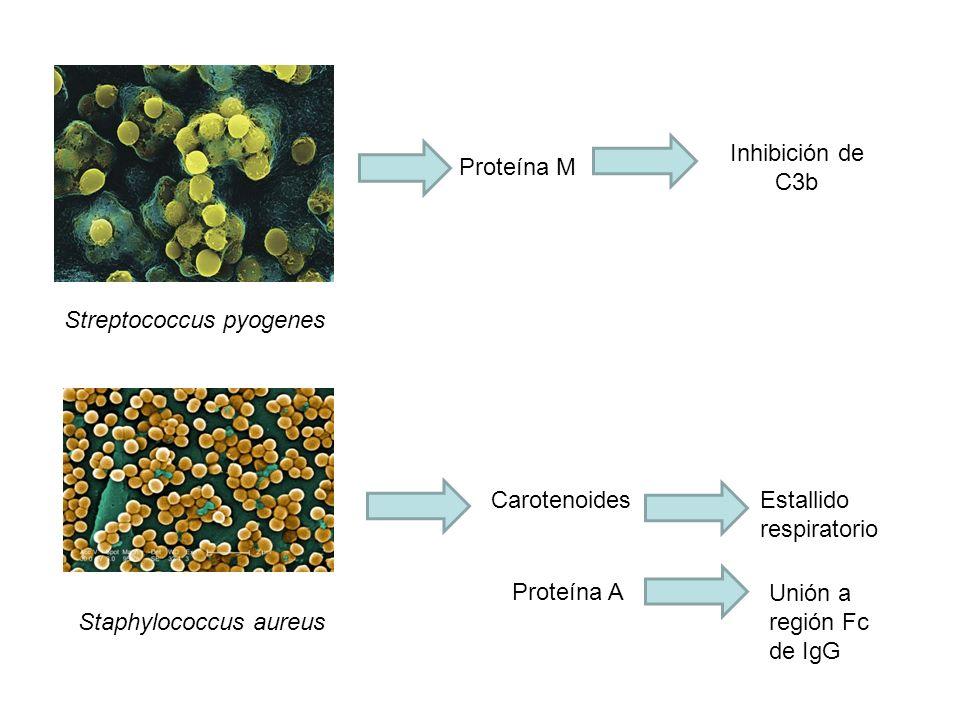 Proteína M Streptococcus pyogenes Inhibición de C3b Staphylococcus aureus CarotenoidesEstallido respiratorio Proteína A Unión a región Fc de IgG