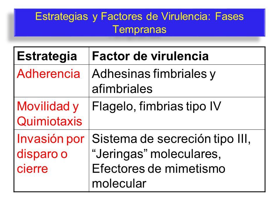 Estrategias y Factores de Virulencia: Fases Tempranas EstrategiaFactor de virulencia AdherenciaAdhesinas fimbriales y afimbriales Movilidad y Quimiota