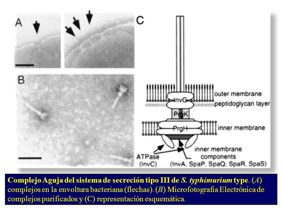 Complejo Aguja del sistema de secreción tipo III de S. typhimurium type. (A) complejos en la envoltura bacteriana (flechas). (B) Microfotografia Elect