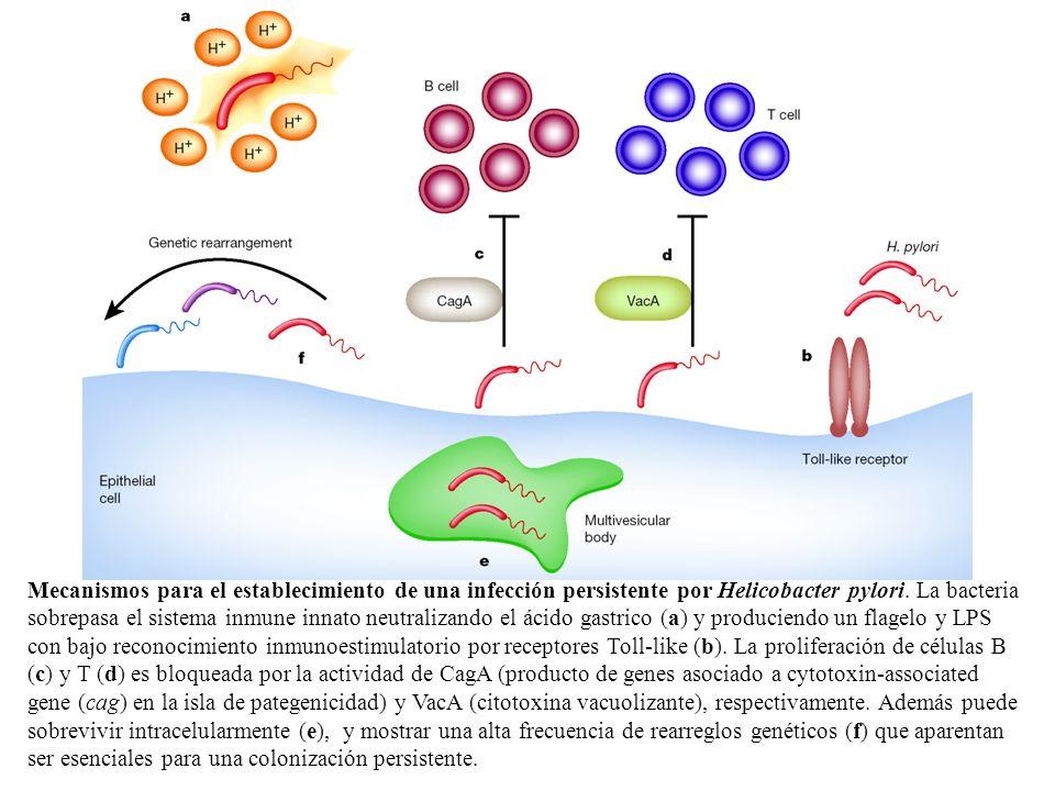 Mecanismos para el establecimiento de una infección persistente por Helicobacter pylori. La bacteria sobrepasa el sistema inmune innato neutralizando