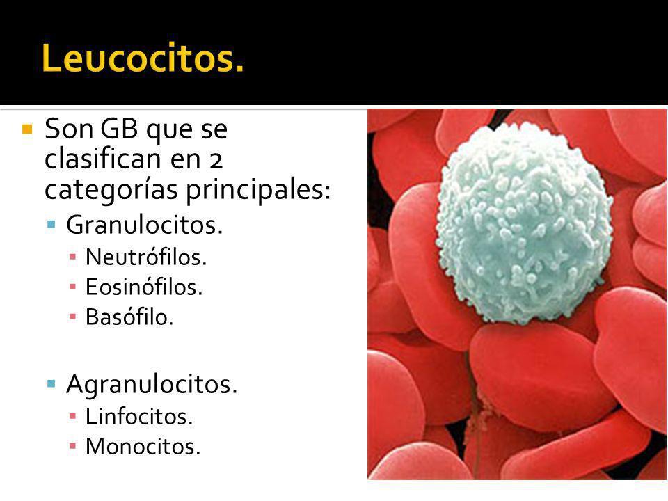 Son GB que se clasifican en 2 categorías principales: Granulocitos. Neutrófilos. Eosinófilos. Basófilo. Agranulocitos. Linfocitos. Monocitos.