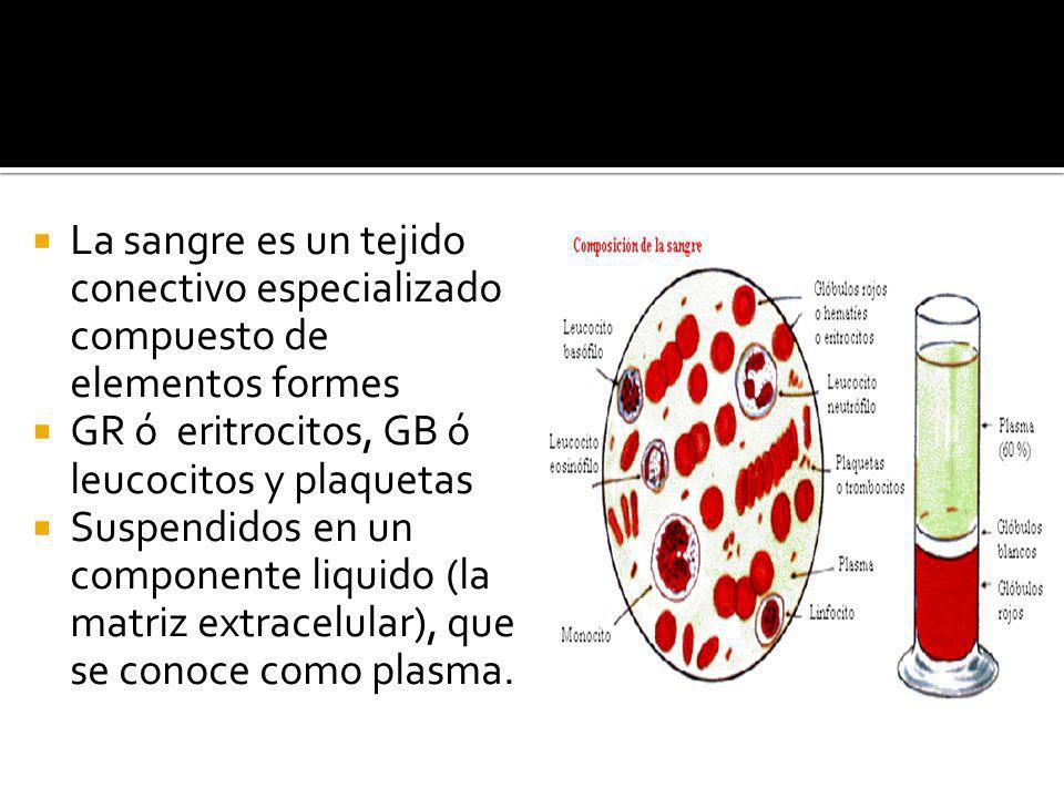 La sangre es un tejido conectivo especializado compuesto de elementos formes GR ó eritrocitos, GB ó leucocitos y plaquetas Suspendidos en un component