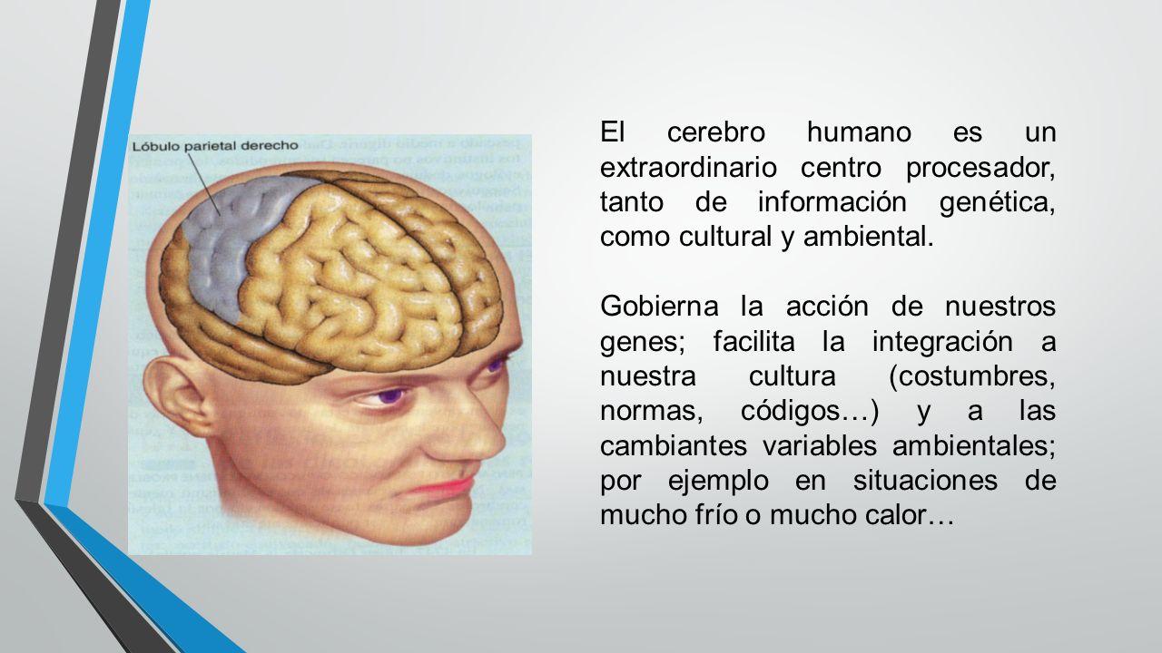 El cerebro humano es un extraordinario centro procesador, tanto de información genética, como cultural y ambiental. Gobierna la acción de nuestros gen