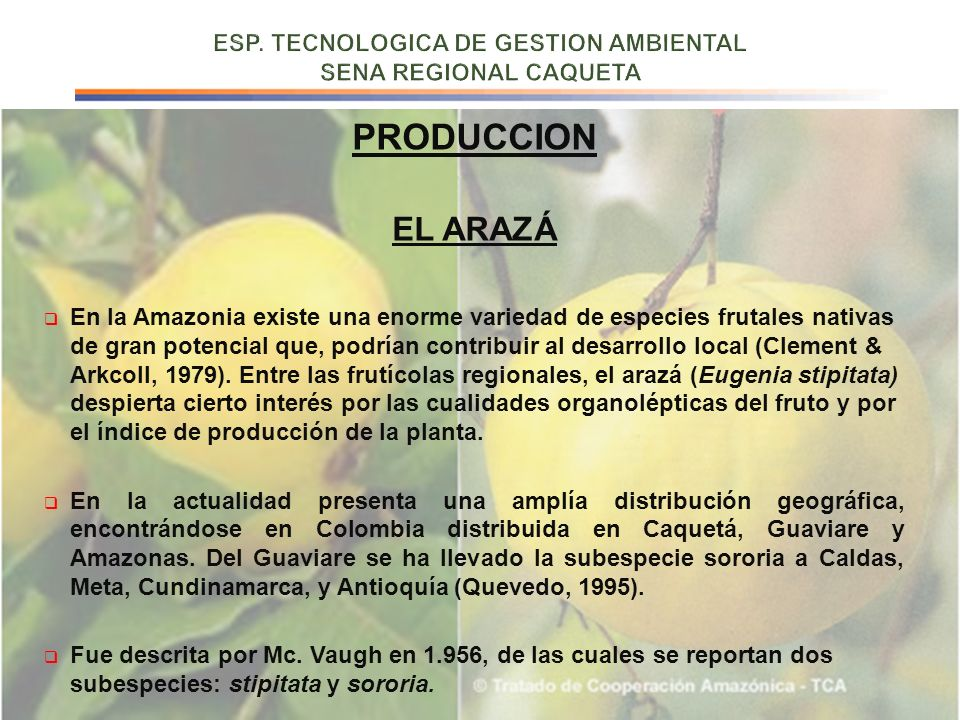 PRODUCCION EL ARAZÁ En la Amazonia existe una enorme variedad de especies frutales nativas de gran potencial que, podrían contribuir al desarrollo loc