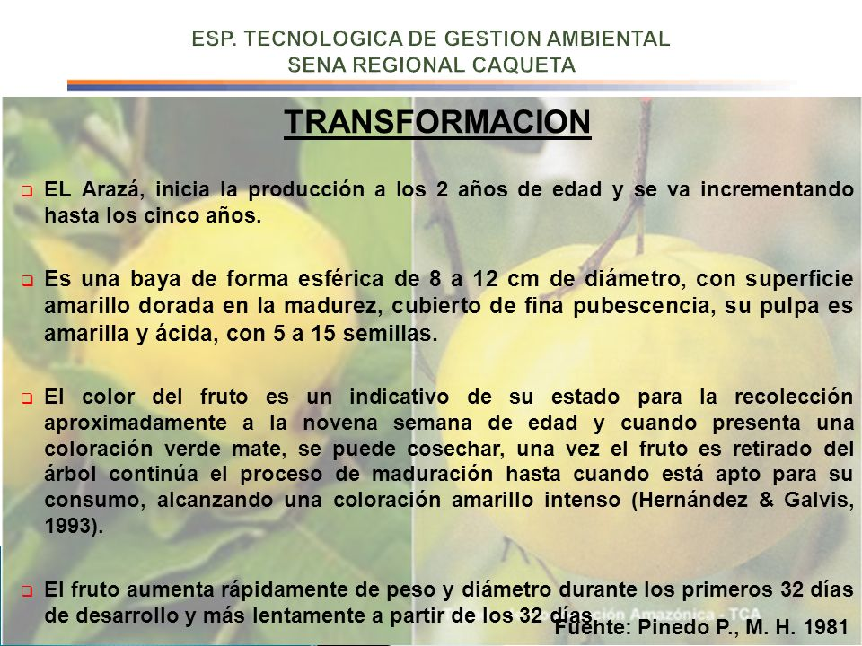 TRANSFORMACION EL Arazá, inicia la producción a los 2 años de edad y se va incrementando hasta los cinco años. Es una baya de forma esférica de 8 a 12