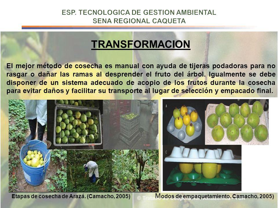 TRANSFORMACION El mejor método de cosecha es manual con ayuda de tijeras podadoras para no rasgar o dañar las ramas al desprender el fruto del árbol.