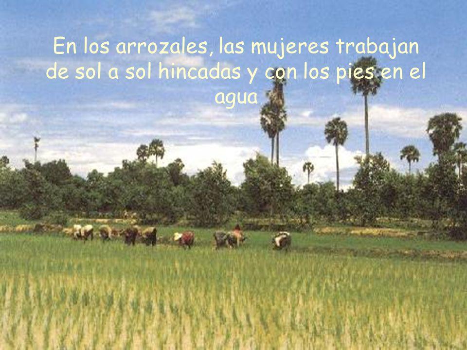 En los arrozales, las mujeres trabajan de sol a sol hincadas y con los pies en el agua