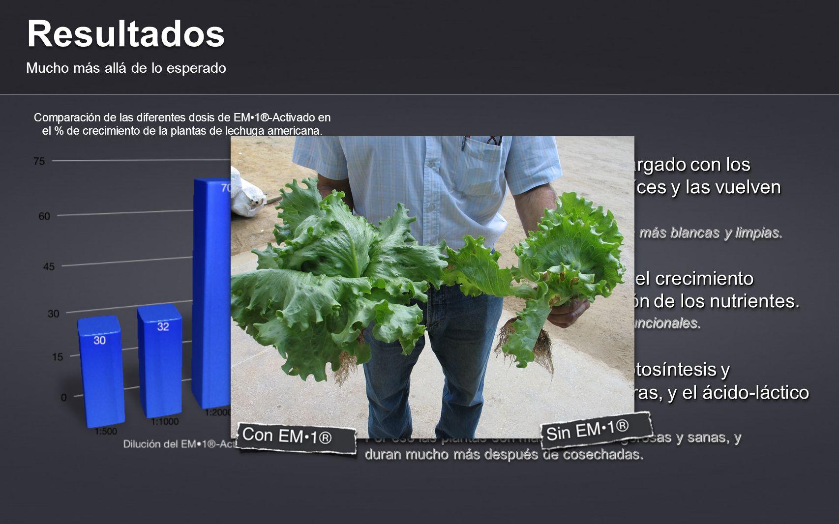 Resultados Mucho más allá de lo esperado Comparación de las diferentes dosis de EM1®-Activado en el % de crecimiento de la plantas de lechuga american