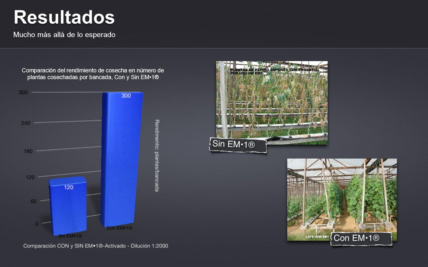 Resultados Mucho más allá de lo esperado Comparación del rendimiento de cosecha en número de plantas cosechadas por bancada, Con y Sin EM1®