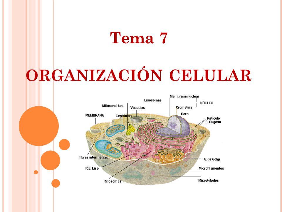Tema 7 ORGANIZACIÓN CELULAR