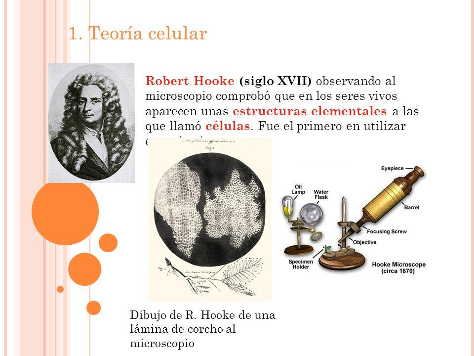 1. Teoría celular Robert Hooke (siglo XVII) observando al microscopio comprobó que en los seres vivos aparecen unas estructuras elementales a las que