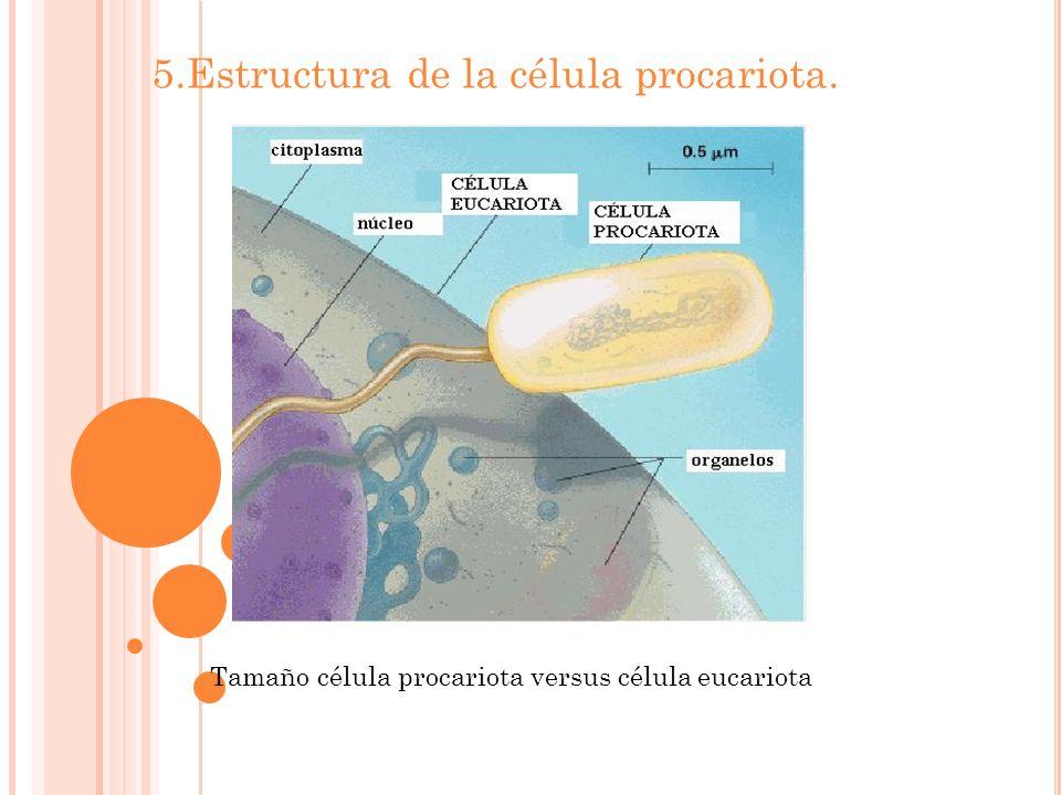 5.Estructura de la célula procariota. Tamaño célula procariota versus célula eucariota