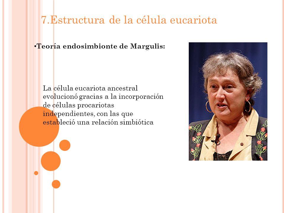 7.Estructura de la célula eucariota Teoría endosimbionte de Margulis: La célula eucariota ancestral evolucionó gracias a la incorporación de células procariotas independientes, con las que estableció una relación simbiótica