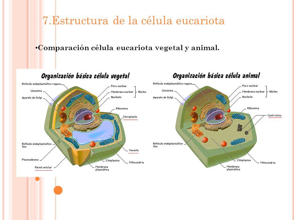 Comparación célula eucariota vegetal y animal.