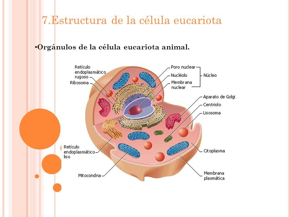 7.Estructura de la célula eucariota Orgánulos de la célula eucariota animal.