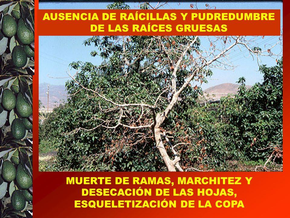 LA PUDREDUMBRE DE LAS RAÍCES ES SIN DUDA LA ENFERMEDAD MAS GRAVE DEL AGUACATE MUERTE DE RAMAS, MARCHITEZ Y DESECACIÓN DE LAS HOJAS, ESQUELETIZACIÓN DE