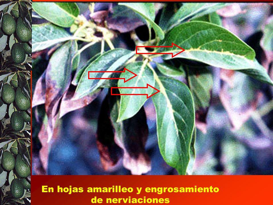En hojas amarilleo y engrosamiento de nerviaciones
