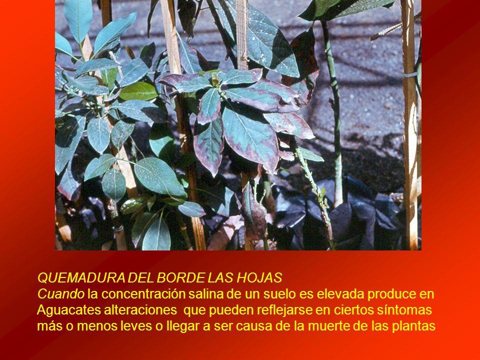 QUEMADURA DEL BORDE LAS HOJAS Cuando la concentración salina de un suelo es elevada produce en Aguacates alteraciones que pueden reflejarse en ciertos