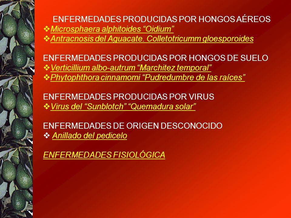 ENFERMEDADES PRODUCIDAS POR HONGOS AÉREOS Microsphaera alphitoides Oidium Antracnosis del Aguacate. Colletotricumm gloesporoides ENFERMEDADES PRODUCID