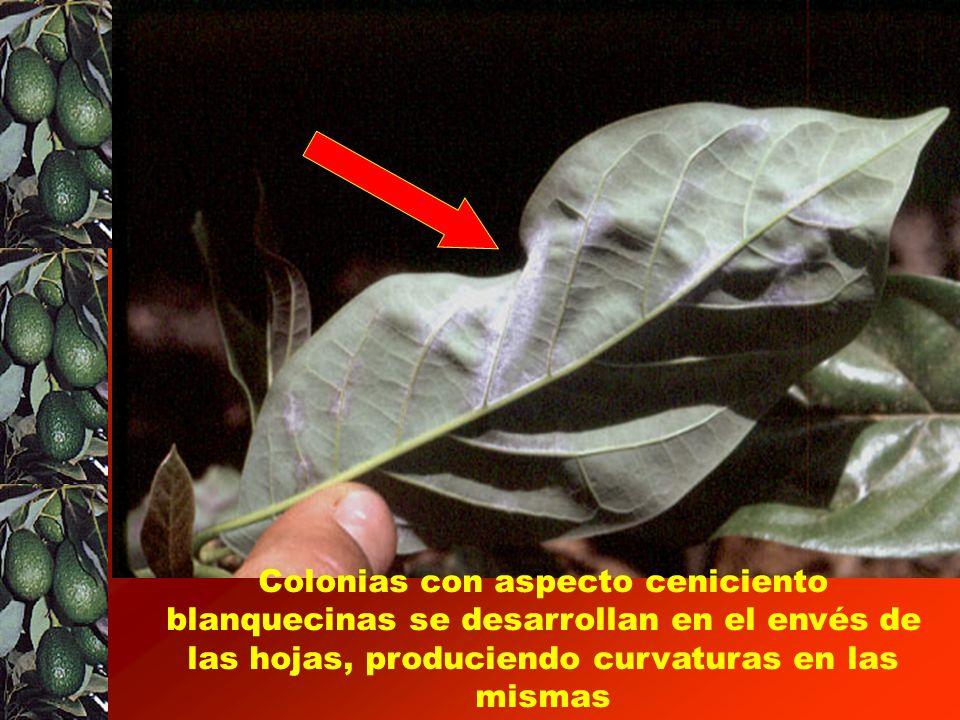 Manchas provocadas por Oidium en hojas maduras