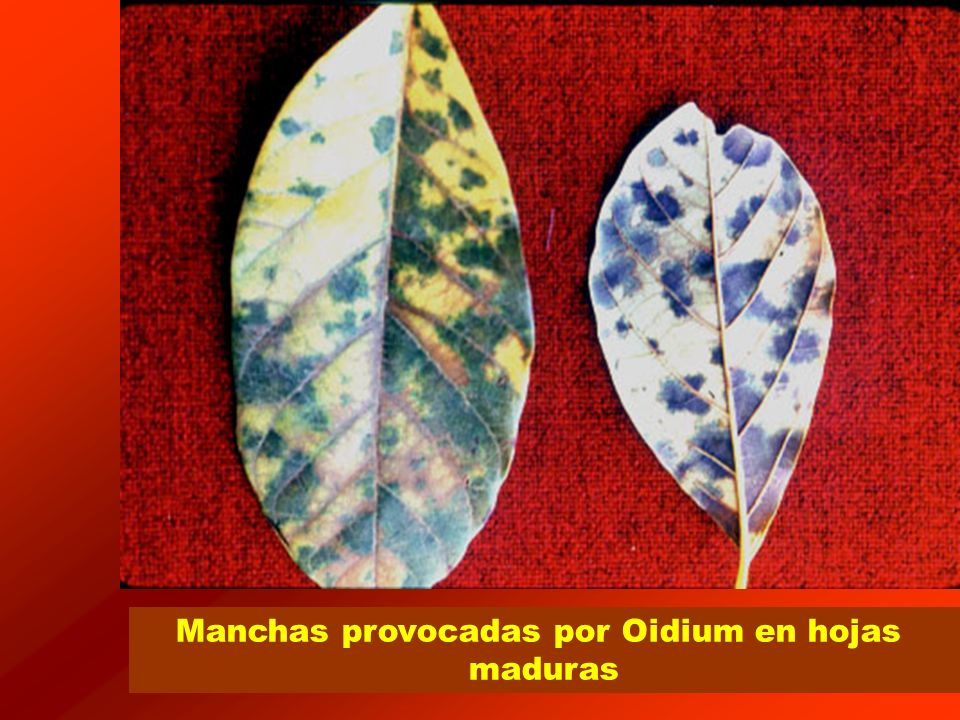 © Ministerio de Agricultura, Pesca y Alimentación 2007 Formulados existentes Uso protegido Formulados AZUFRE 80% [SC] P/V AZUFRE 80% [WG] P/P AZUFRE COLOIDAL 75% [WP] P/P AZUFRE COLOIDAL 80% [WP] P/P AZUFRE MICRONIZADO 60% [DP] P/P AZUFRE MICRONIZADO 80% [DP] P/P AZUFRE MICRONIZADO 80% + PERMANGANATO POTASICO 0,5% [DP] P/P AZUFRE MICRONIZADO 90% [DP] P/P AZUFRE MICRONIZADO 98,5% [DP] P/P AZUFRE MOJABLE 80% [WG] P/P AZUFRE MOJABLE 80% [WP] P/P AZUFRE MOLIDO 80% [DP] P/P
