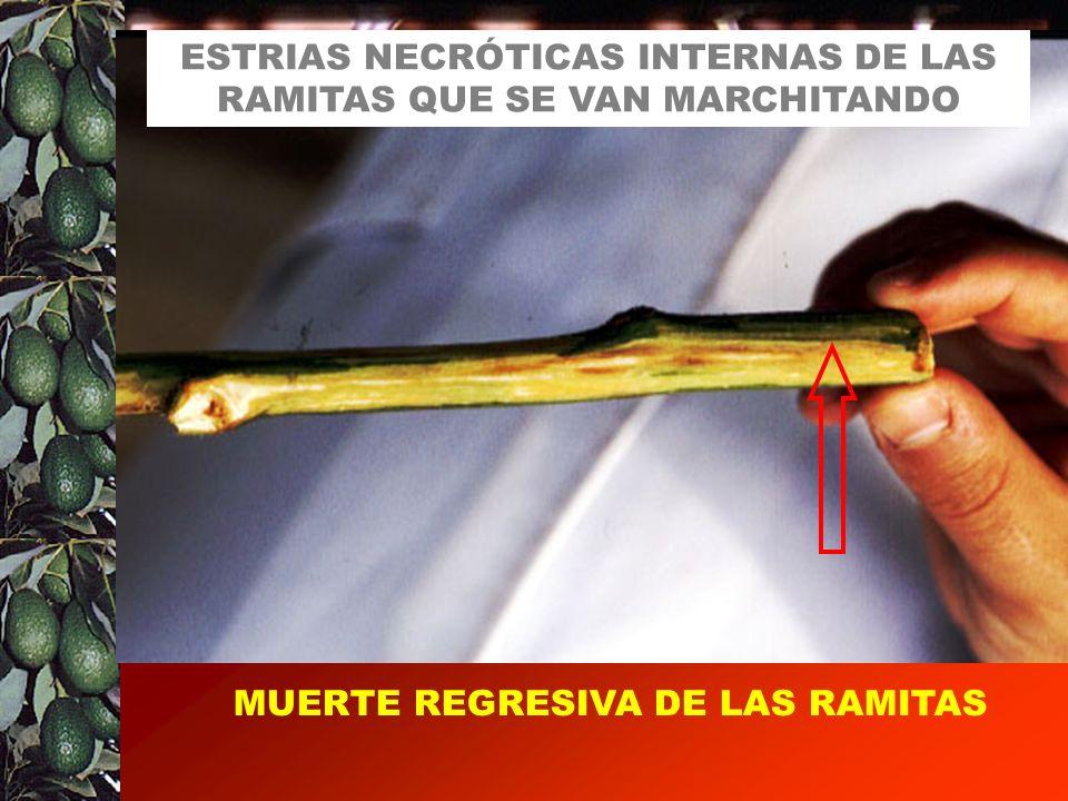MUERTE REGRESIVA DE LAS RAMITAS ESTRIAS NECRÓTICAS INTERNAS DE LAS RAMITAS QUE SE VAN MARCHITANDO