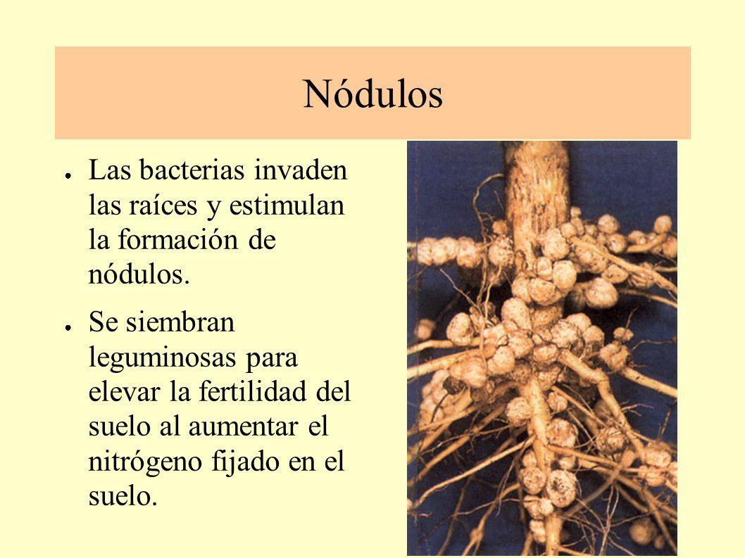 SIMBIOSIS MICRORGA-NISMOS- LEGUMINOSAS Bacterias como Rhizobium, en combinación con células de las raíces de leguminosas son capaces de fijar el nitrógeno atmosférico.