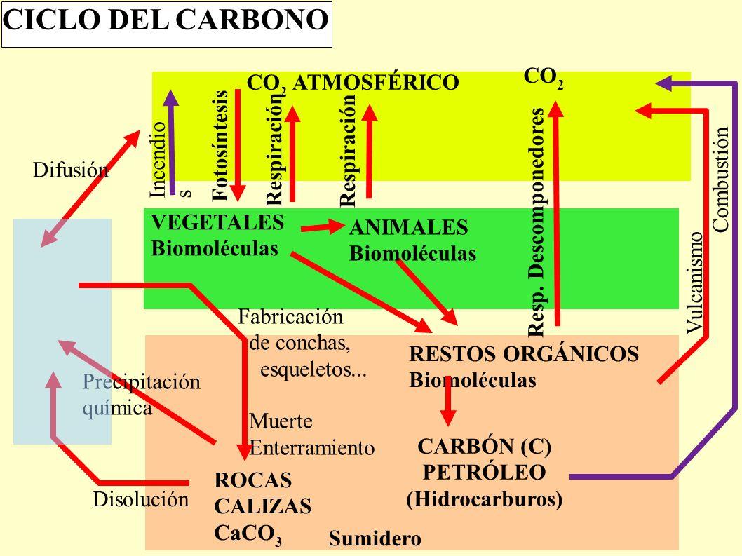 CO 2 ATMOSFÉRICO VEGETALES Biomoléculas Fotosíntesis CICLO DEL CARBONO RESTOS ORGÁNICOS Biomoléculas CARBÓN (C) PETRÓLEO (Hidrocarburos) Sumidero Disolución Precipitación química Difusión Vulcanismo Combustión Incendio s CO 2 Resp.