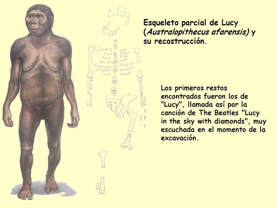 Esqueleto parcial de Lucy (Australopithecus afarensis) y su recostrucción. Los primeros restos encontrados fueron los de