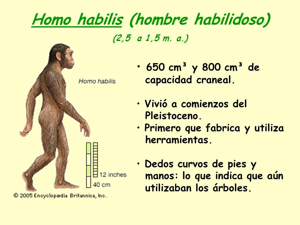Homo habilis (hombre habilidoso) (2,5 a 1,5 m. a.) 650 cm³ y 800 cm³ de capacidad craneal. Vivió a comienzos del Pleistoceno. Primero que fabrica y ut