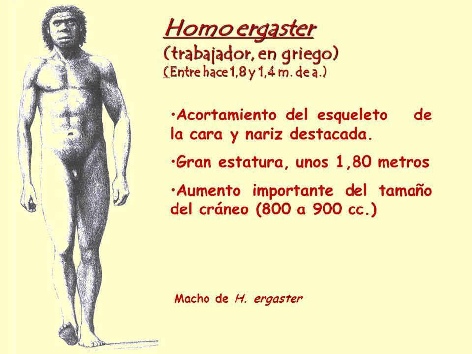 Homo ergaster (trabajador, en griego) (Entre hace 1,8 y 1,4 m. de a.) Macho de H. ergaster Acortamiento del esqueleto de la cara y nariz destacada. Gr