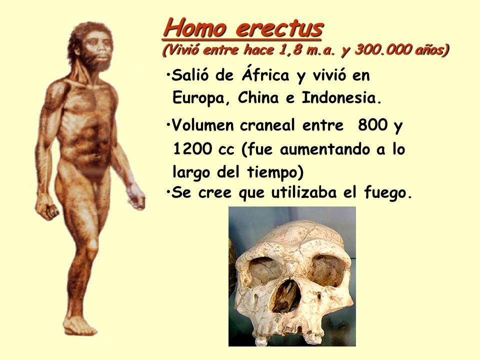 Homo erectus (Vivió entre hace 1,8 m.a. y 300.000 años) Salió de África y vivió en Europa, China e Indonesia. Volumen craneal entre 800 y 1200 cc (fue