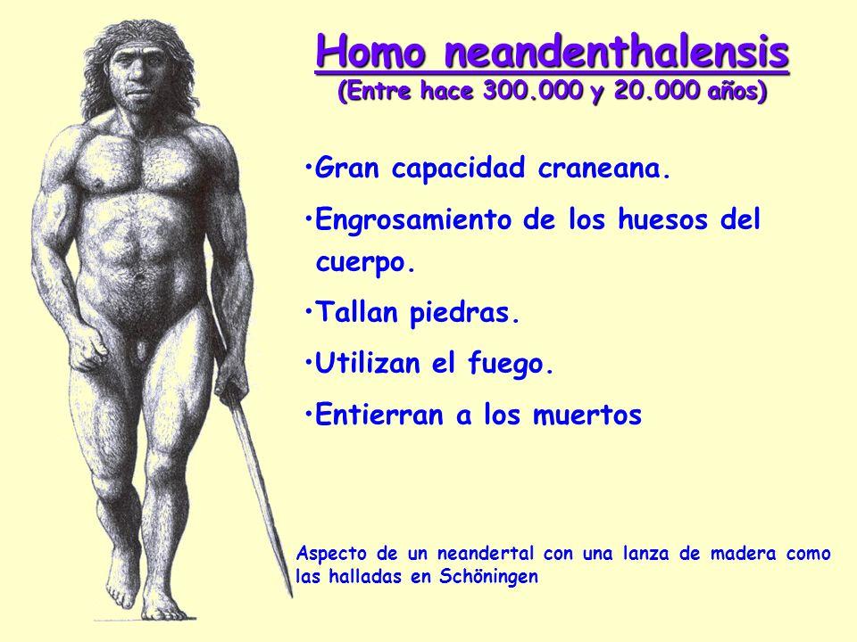 Homo neandenthalensis (Entre hace 300.000 y 20.000 años) Aspecto de un neandertal con una lanza de madera como las halladas en Schöningen Gran capacid