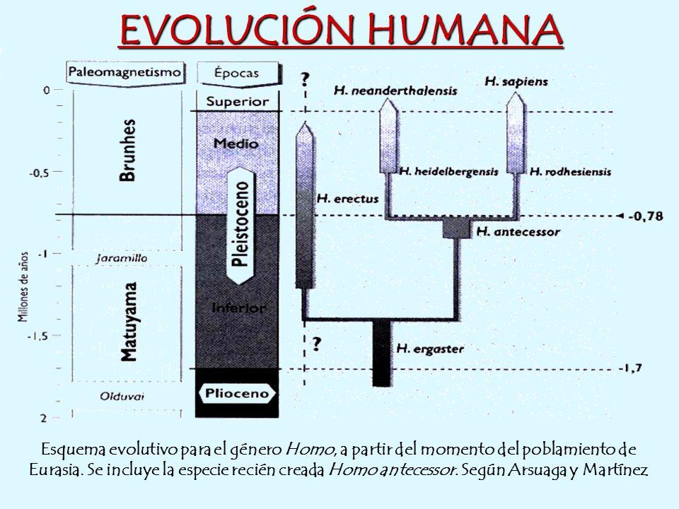 EVOLUCIÓN HUMANA Esquema evolutivo para el género Homo, a partir del momento del poblamiento de Eurasia. Se incluye la especie recién creada Homo ante