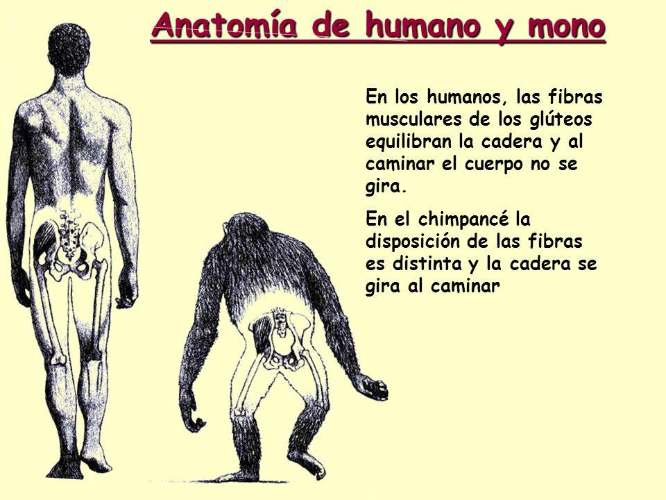 Anatomía de humano y mono En los humanos, las fibras musculares de los glúteos equilibran la cadera y al caminar el cuerpo no se gira. En el chimpancé