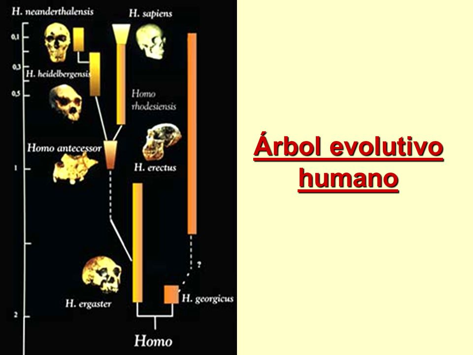 Árbol evolutivo humano