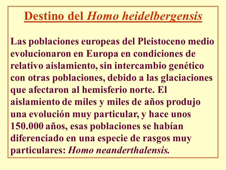 Destino del Homo heidelbergensis Las poblaciones europeas del Pleistoceno medio evolucionaron en Europa en condiciones de relativo aislamiento, sin in