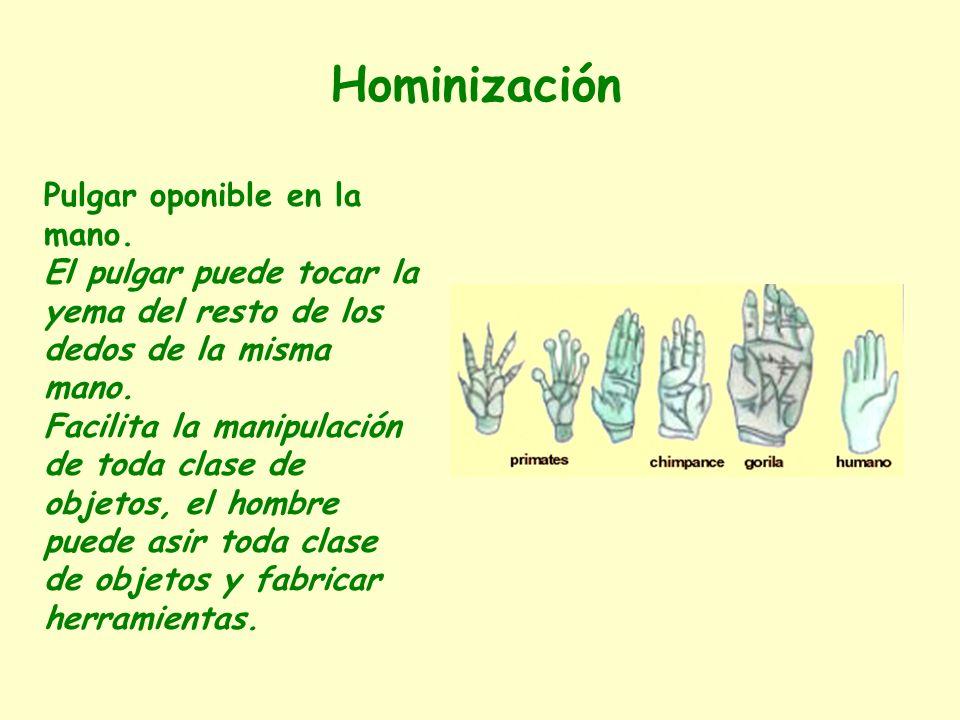 Pulgar oponible en la mano. El pulgar puede tocar la yema del resto de los dedos de la misma mano. Facilita la manipulación de toda clase de objetos,