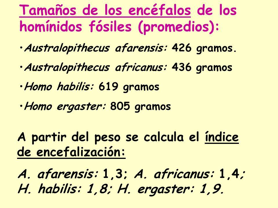 Tamaños de los encéfalos de los homínidos fósiles (promedios): Australopithecus afarensis: 426 gramos. Australopithecus africanus: 436 gramos Homo hab