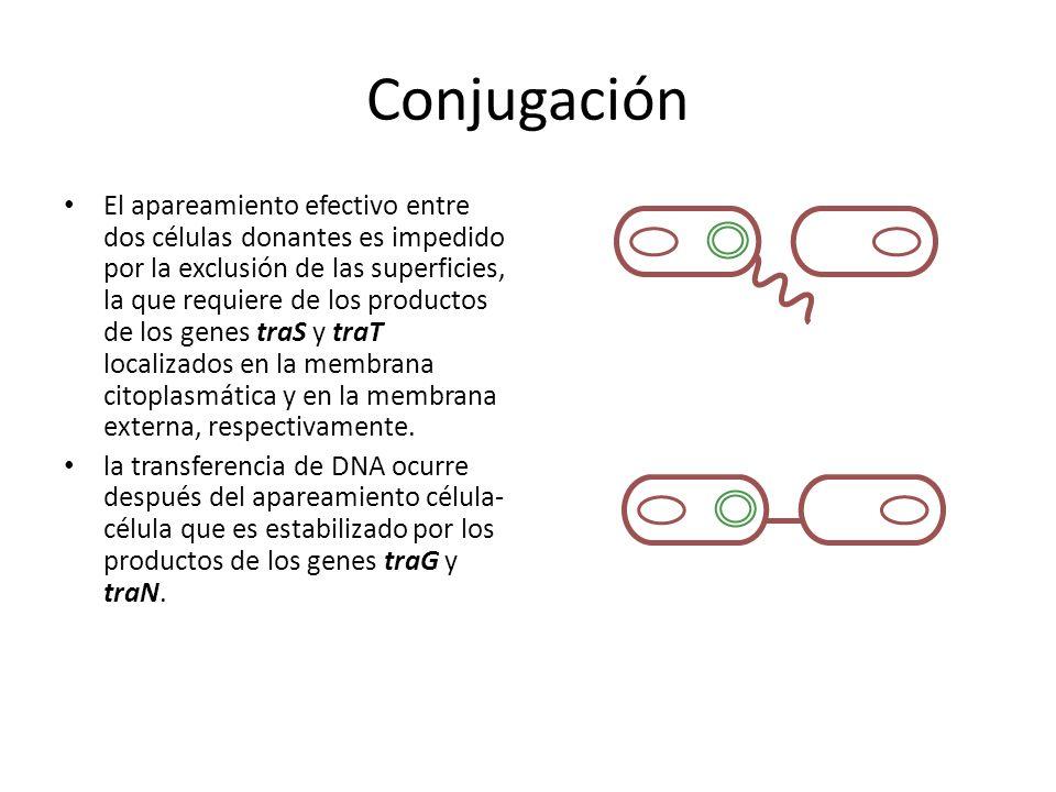 Conjugación El apareamiento efectivo entre dos células donantes es impedido por la exclusión de las superficies, la que requiere de los productos de los genes traS y traT localizados en la membrana citoplasmática y en la membrana externa, respectivamente.