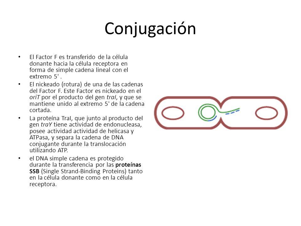 Conjugación El Factor F es transferido de la célula donante hacia la célula receptora en forma de simple cadena lineal con el extremo 5 .