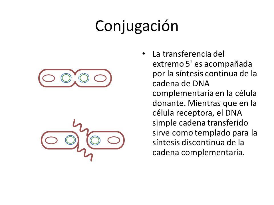 Conjugación La transferencia del extremo 5' es acompañada por la síntesis continua de la cadena de DNA complementaria en la célula donante. Mientras q