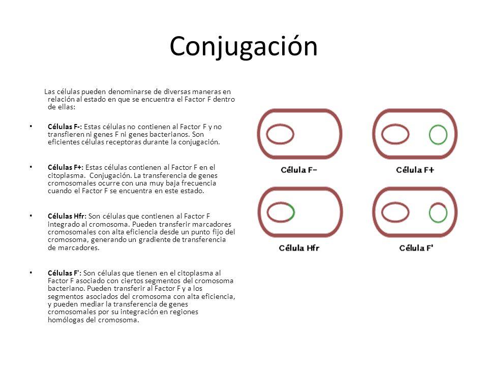 Conjugación Las células pueden denominarse de diversas maneras en relación al estado en que se encuentra el Factor F dentro de ellas: Células F-: Estas células no contienen al Factor F y no transfieren ni genes F ni genes bacterianos.