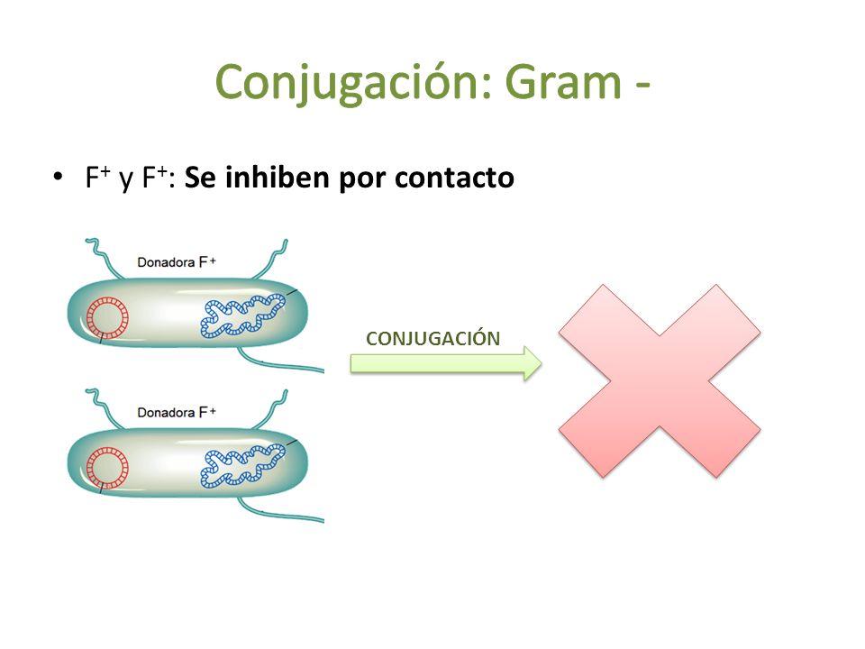F + y F + : Se inhiben por contacto CONJUGACIÓN