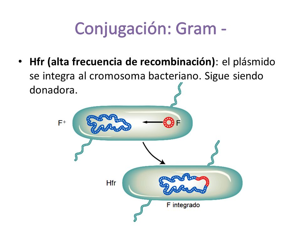 Hfr (alta frecuencia de recombinación): el plásmido se integra al cromosoma bacteriano.