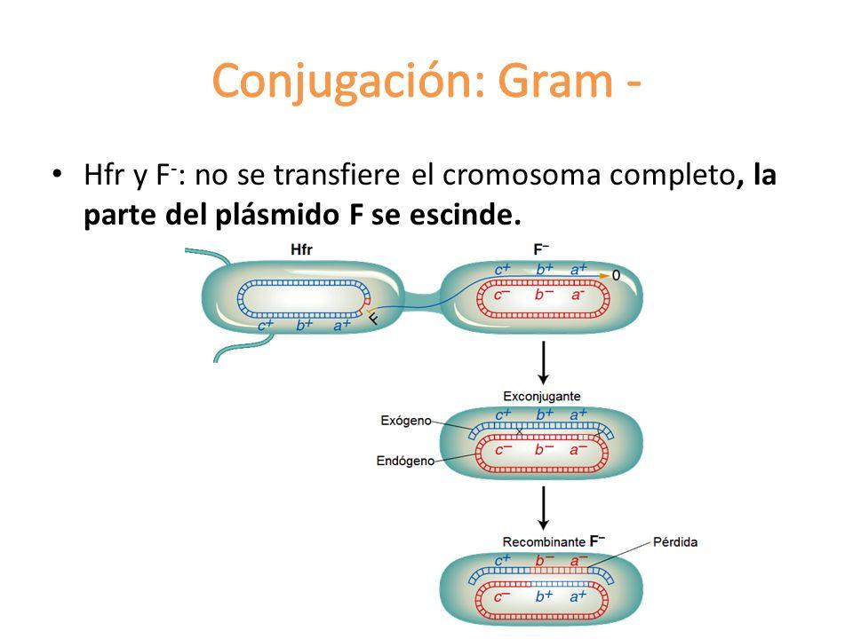 Hfr y F - : no se transfiere el cromosoma completo, la parte del plásmido F se escinde.