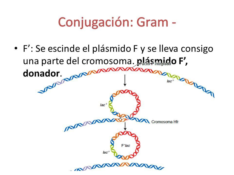 F: Se escinde el plásmido F y se lleva consigo una parte del cromosoma. plásmido F, donador.