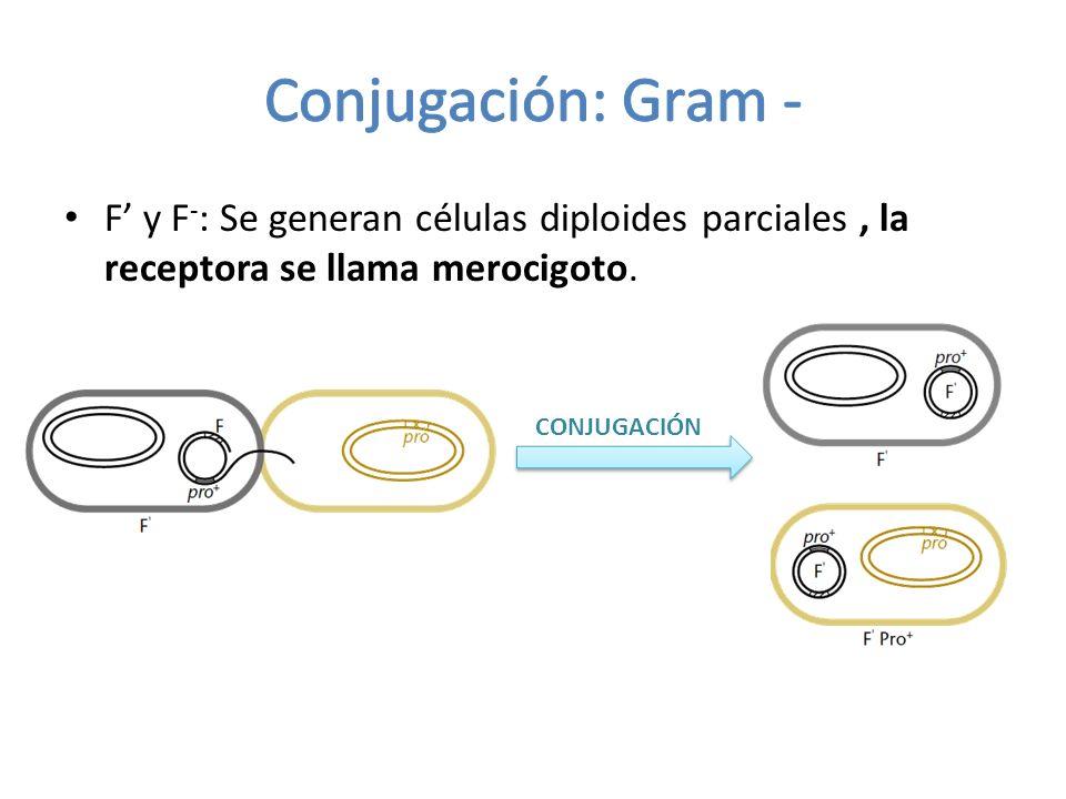 F y F - : Se generan células diploides parciales, la receptora se llama merocigoto. CONJUGACIÓN