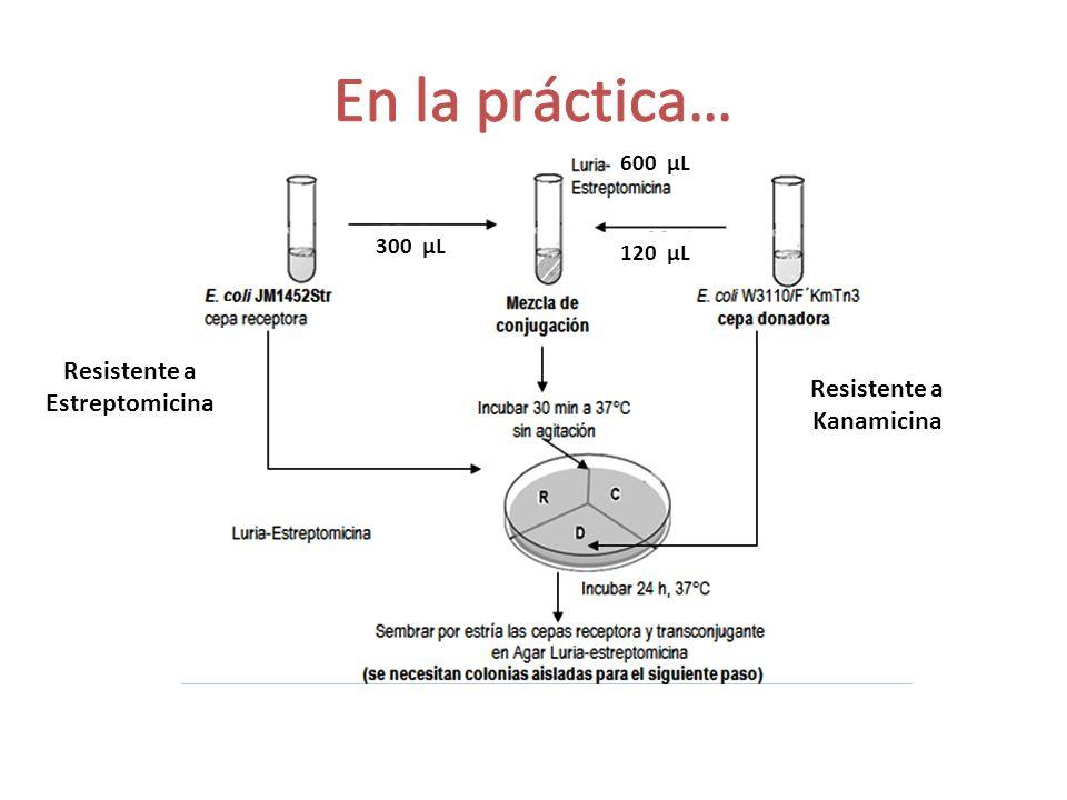 600 µL 120 µL 300 µL Resistente a Estreptomicina Resistente a Kanamicina